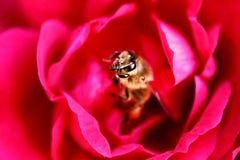 La abeja está en el centro de rosa del rojo Foto de archivo libre de regalías