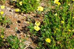 La abeja está en la flor amarilla Foto de archivo libre de regalías