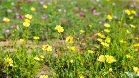 La abeja está en la flor amarilla Imágenes de archivo libres de regalías