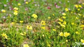 La abeja está en la flor amarilla Imagen de archivo libre de regalías