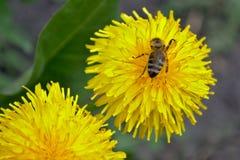 La abeja está en un diente de león Imagen de archivo