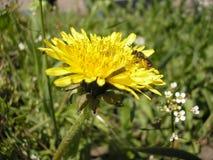 La abeja está en un diente de león Apenas llovido encendido Imagen de archivo libre de regalías