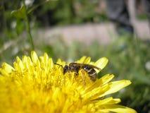 La abeja está en un diente de león Apenas llovido encendido Imagenes de archivo
