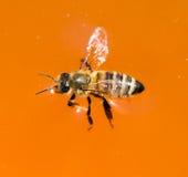La abeja está flotando en miel anaranjada Imagenes de archivo