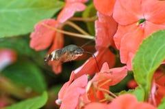 La abeja está ocupada en chupar la miel Imagen de archivo libre de regalías