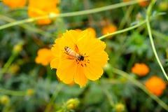 La abeja está recogiendo el néctar del cosmos de las flores Imagen de archivo