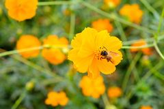 La abeja está recogiendo el néctar del cosmos de las flores Imagen de archivo libre de regalías