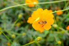 La abeja está recogiendo el néctar del cosmos de las flores Fotografía de archivo libre de regalías
