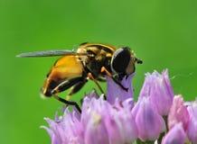 La abeja está recolectando el néctar Foto de archivo libre de regalías