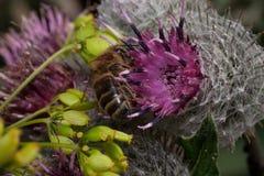 La abeja está recolectando el polen de una flor del cardo Animales en fauna Foto de archivo