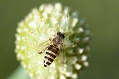 La abeja está trabajando Fotos de archivo