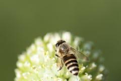 La abeja está trabajando Imágenes de archivo libres de regalías