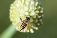 La abeja está trabajando Foto de archivo