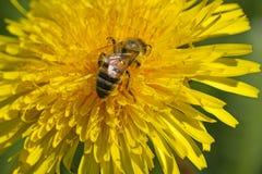 La abeja está trabajando para la miel Fotografía de archivo