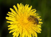 La abeja está trabajando para la miel Foto de archivo