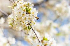 La abeja está volando para florecer Imágenes de archivo libres de regalías