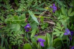 La abeja está volando sobre las flores violetas Imagen de archivo libre de regalías