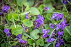 La abeja está volando sobre las flores violetas Imagenes de archivo