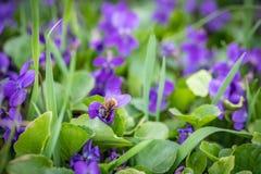 La abeja está volando sobre las flores violetas Imagen de archivo