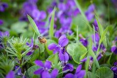 La abeja está volando sobre las flores violetas Fotos de archivo