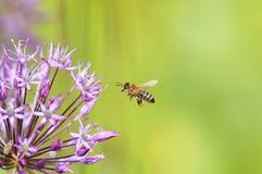 La abeja está volando sobre un arco decorativo para el néctar Imagen de archivo libre de regalías
