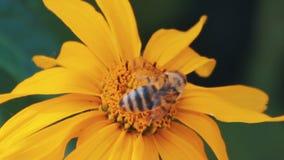 La abeja europea de la miel se mueve en modelo del círculo en la planta de miel amarilla metrajes