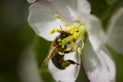 La abeja europea poliniza el manzano Fotografía de archivo