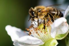 La abeja europea que poliniza una pequeña flor blanca Fotos de archivo libres de regalías