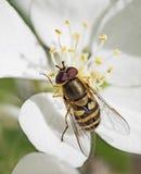 La abeja extrae el néctar Foto de archivo libre de regalías
