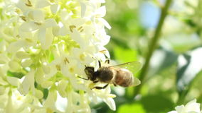 La abeja extrae el polen almacen de video