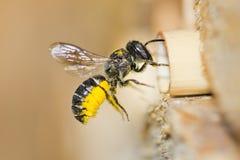 La abeja femenina de la resina entra en su jerarquía de la cavidad Fotos de archivo libres de regalías