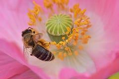 La abeja forrajea en anteras amarillas Imagen de archivo libre de regalías