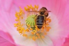 La abeja forrajea en las anteras amarillas 03 Imagenes de archivo