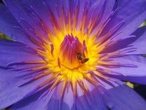 La abeja goza con loto Fotografía de archivo libre de regalías