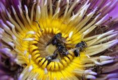La abeja goza de la miel en polen púrpura del amarillo del lirio de agua Fotos de archivo