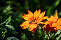 La abeja grande recoge el néctar en una flor Imagen de archivo