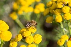 La abeja hace su trabajo Fotografía de archivo libre de regalías