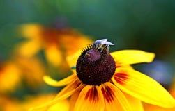 La abeja hambrienta Foto de archivo libre de regalías