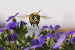 La abeja hermosa de la miel recolecta en vuelo el néctar de la púrpura jugosa f Fotos de archivo