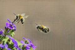 La abeja hermosa de la miel recolecta en vuelo el néctar de la púrpura jugosa f Fotos de archivo libres de regalías