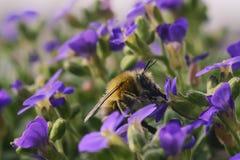 La abeja hermosa de la miel recolecta en vuelo el néctar de la púrpura jugosa f Imágenes de archivo libres de regalías