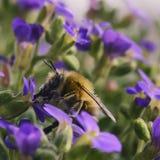 La abeja hermosa de la miel recolecta en vuelo el néctar de la púrpura jugosa f Imagenes de archivo