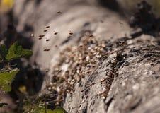 La abeja, Hylaeus, recolecta el polen Imagen de archivo