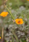 La abeja, Hylaeus, recolecta el polen Fotografía de archivo