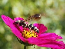 La abeja japonesa de la miel que salía una flor de él ha recogido el polen de Imágenes de archivo libres de regalías
