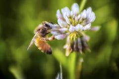 La abeja libera una pequeña abeja que hace su cosa Fotos de archivo