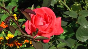 La abeja llega en la rosa roja en el jardín botánico almacen de video