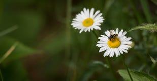 La abeja lleva el polen de la margarita a la margarita Imagen de archivo libre de regalías
