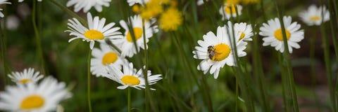 La abeja lleva el polen de la margarita a la margarita Foto de archivo libre de regalías