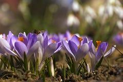 La abeja loking para el polen en flores Foto de archivo libre de regalías